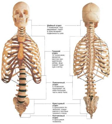 Как держаться наши кости между собой?