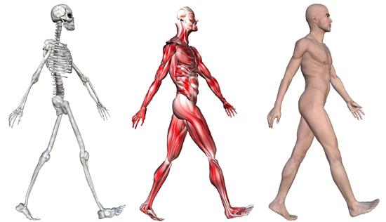 Скелет человека - самое уникальное творение природы