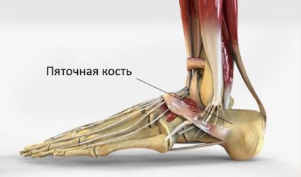 Анатомия стопы человека