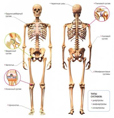 Анатомия, суставы