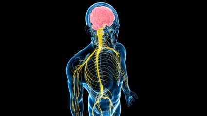 Головной и спинной мозг