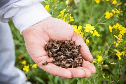 Подмор пчелиный в ладони